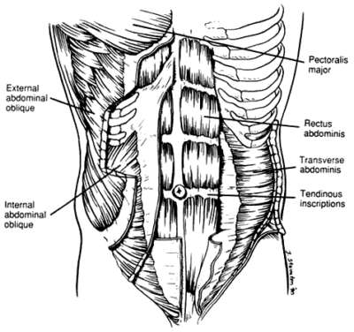 Ab muscles anatomy